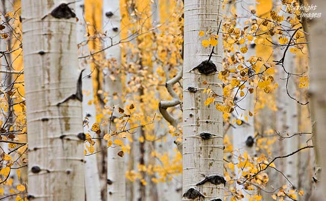more aspen trees