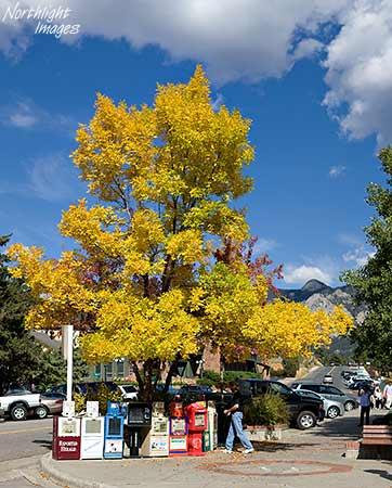 golden aspen, estes park