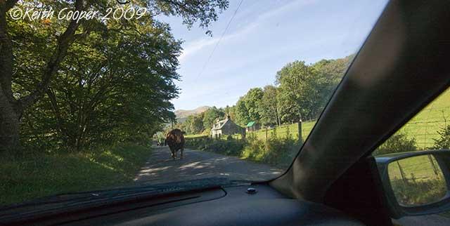 bull in road - glen lyons
