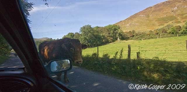 bull passes car - glen lyons