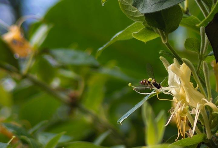 hover fly on honeysuckle flower