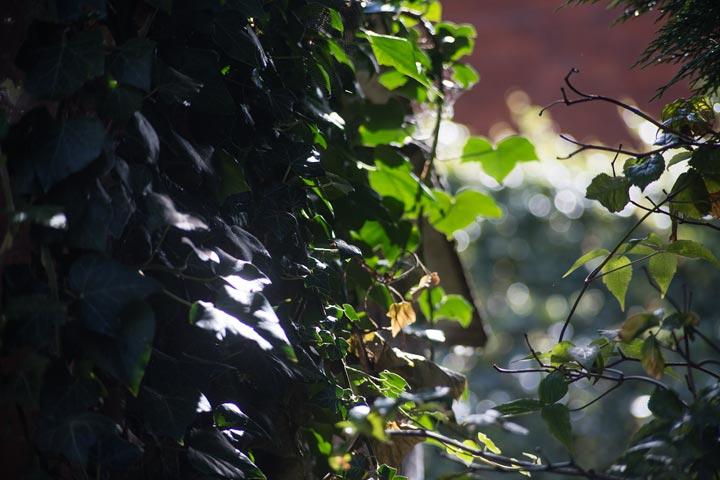 ivy - backlit