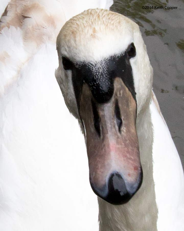 detail of swan's head