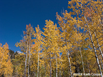 aspens against sky - steamboat springs