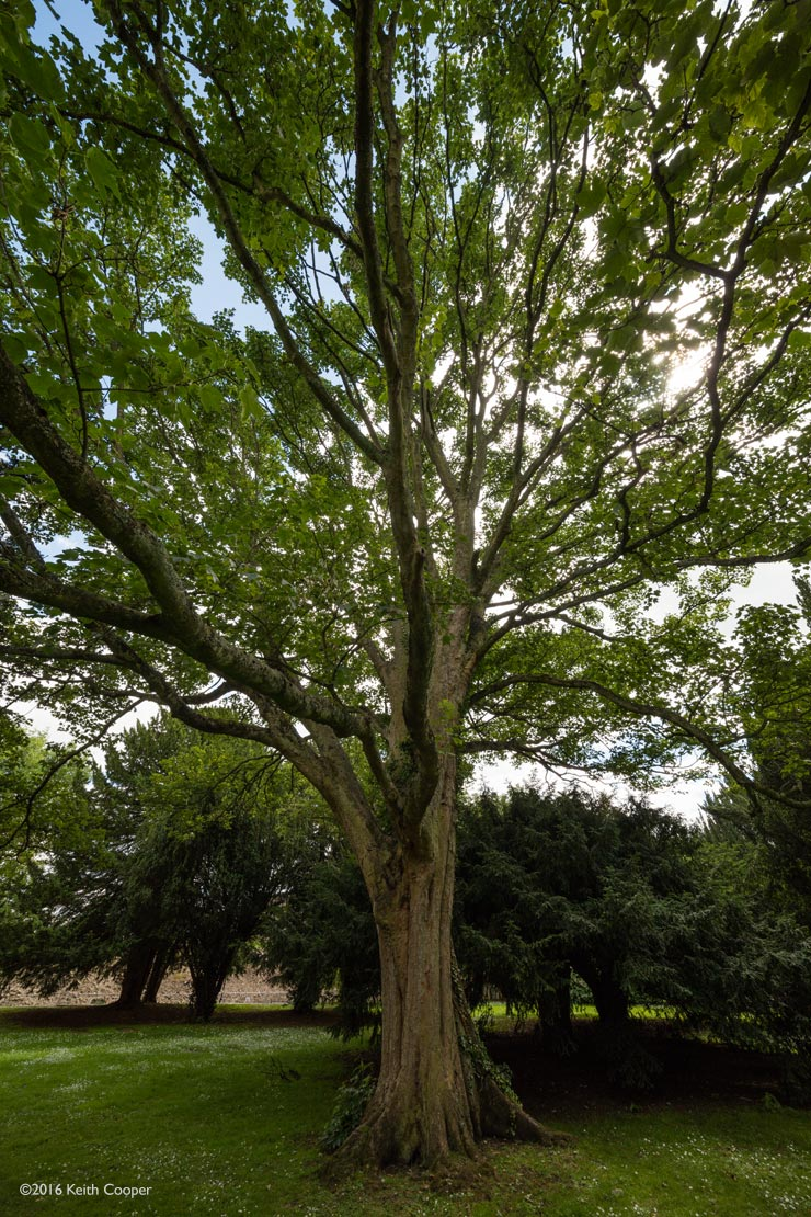 large tree in Oakham