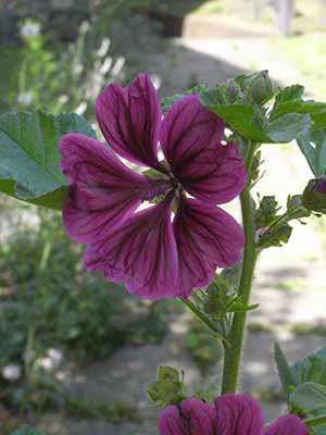 churchyard flower