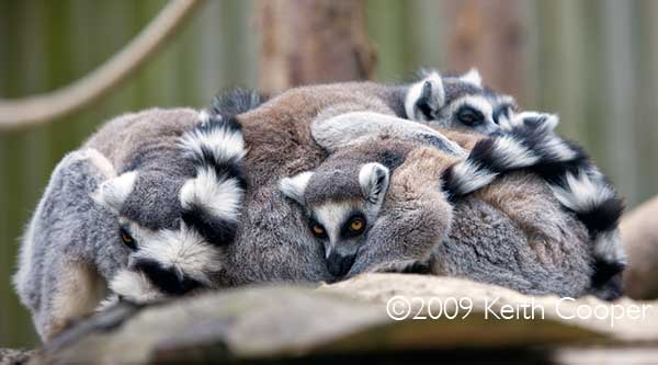 Pile of Ring Tail Lemurs sleeping