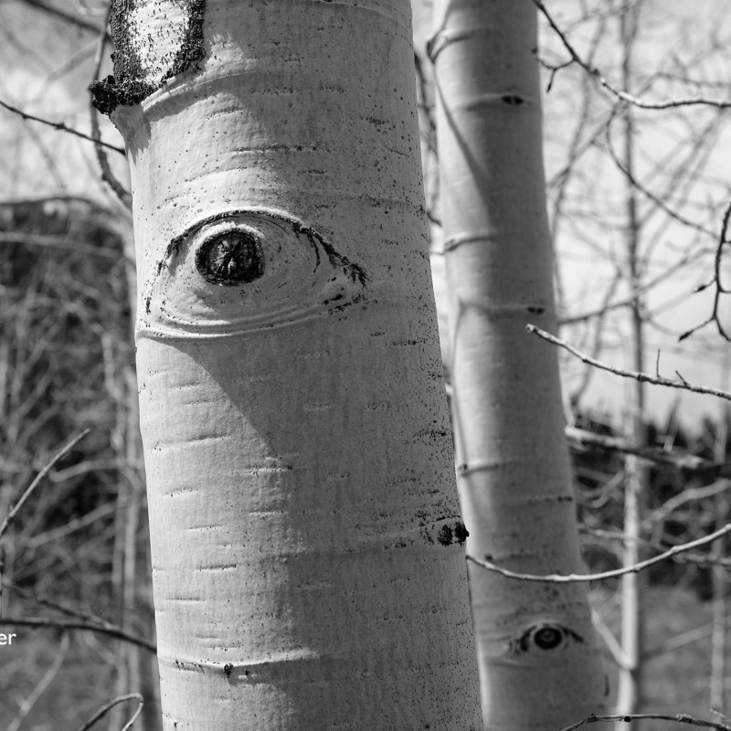 Aspen eyes