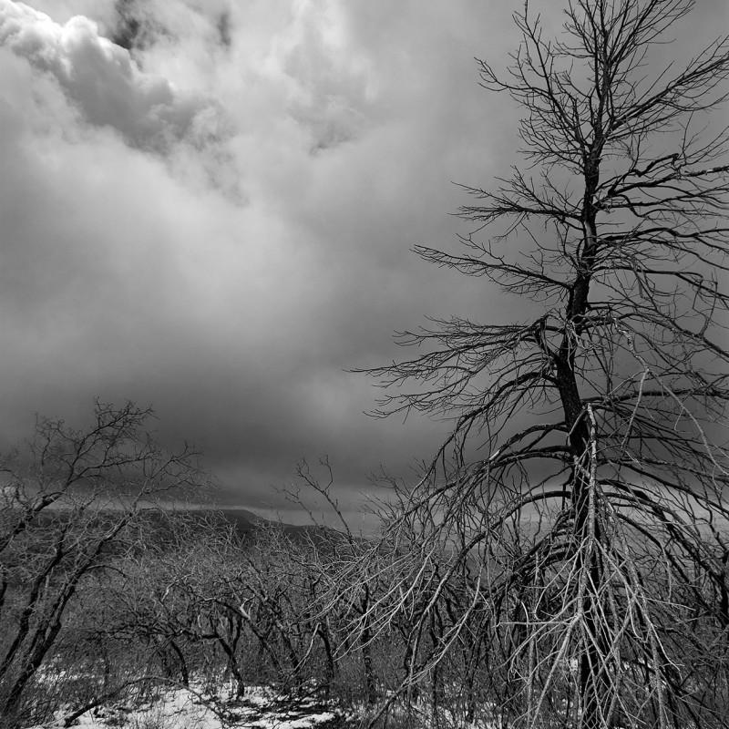 Burnt Tree with Snow