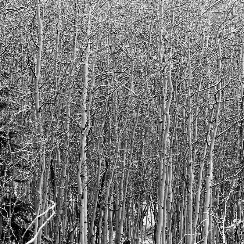 Snow dusted aspens