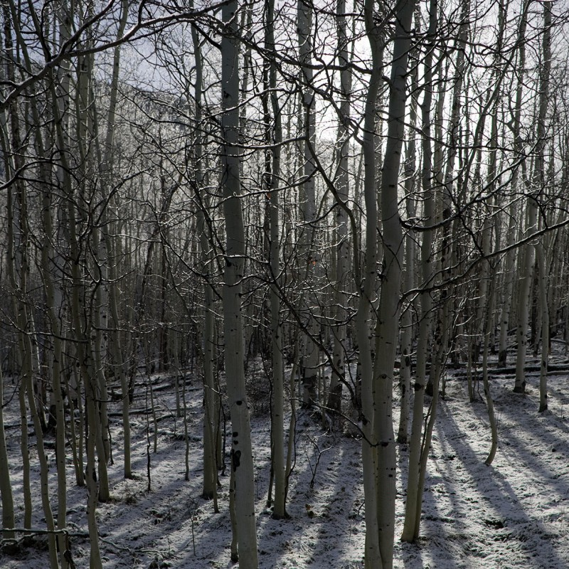 Snow dusted aspens 2