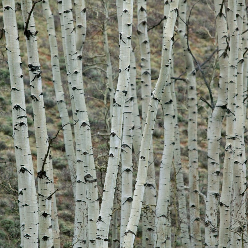 Aspen trees 4