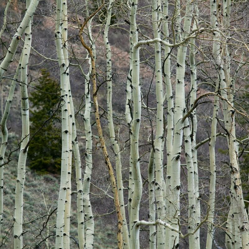 Aspen trees 5
