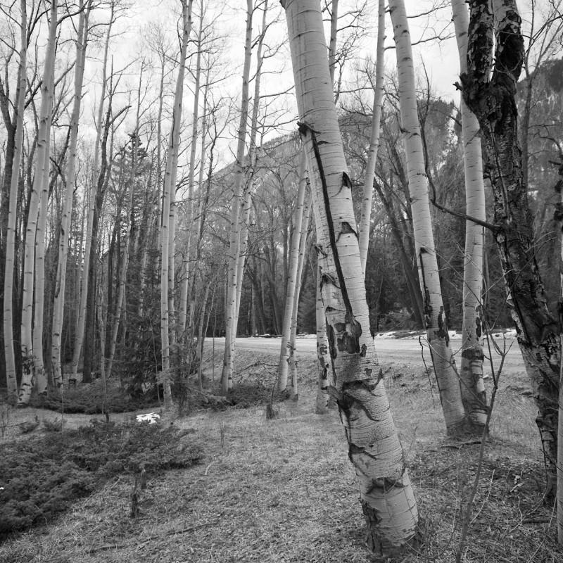 Aspen trees 6