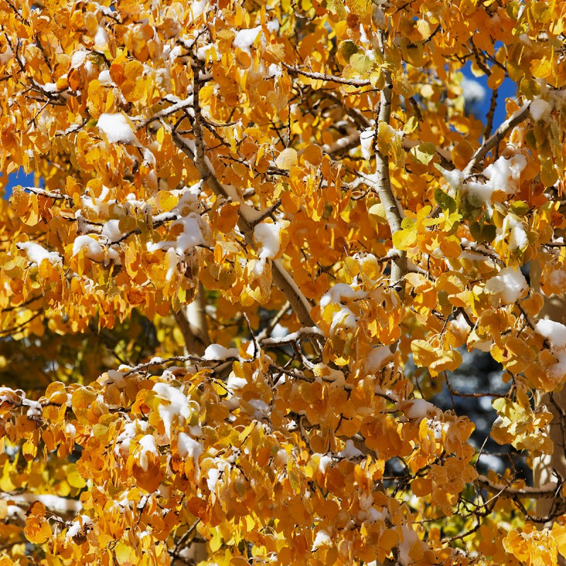 Fall snow and aspen leaves