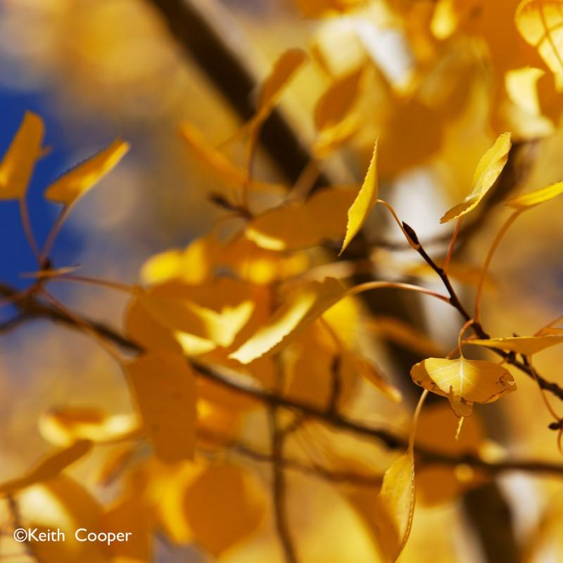 Fall colours - aspen leaves 1