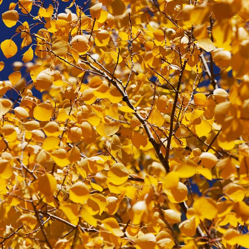Fall colours - aspen leaves 2