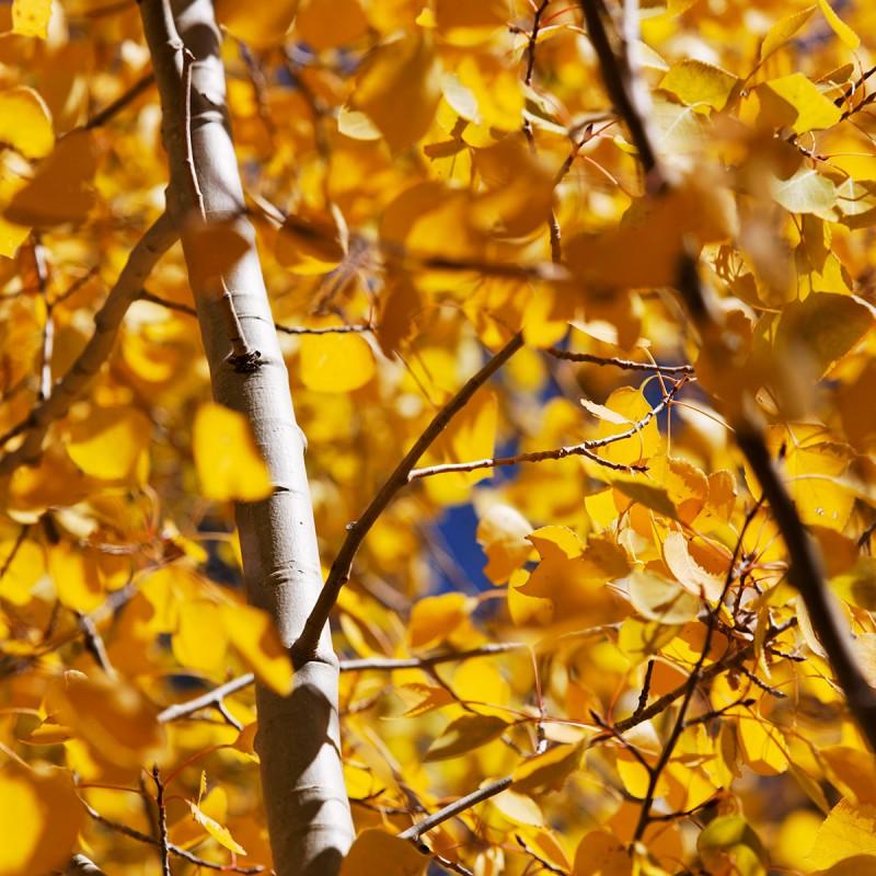 Fall colours - aspen leaves 3