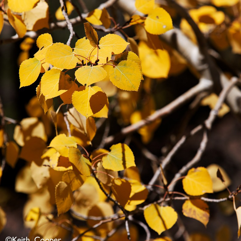 Fall colours - aspen leaves 4